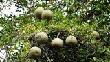 বনলতা কদবেল (Wood apple) কলম চারা